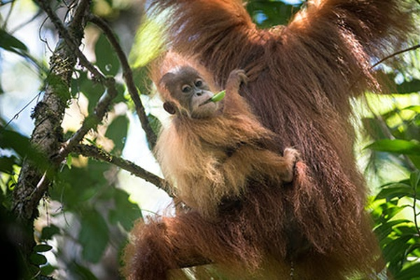 Your gift will support wildlife patrols protecting Tapanuli orangutans